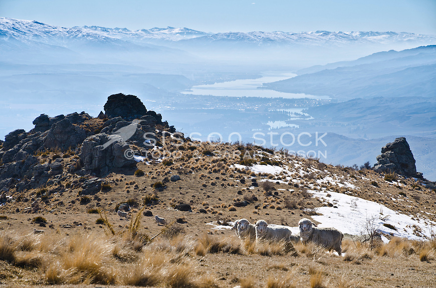 Merino sheep graze on the road to Duffers Saddle. Snow covered mountains, Cromwell and Lake Dunstan in the background. Winter, Central Otago, South Island, New Zealand