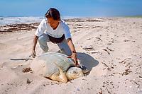 biologist measures nesting Kemp's ridley sea turtle, Lepidochelys kempii, ( endangered ), Rancho Nuevo, Mexico, Gulf of Mexico, Atlantic Ocean