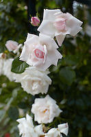 Pale pink roses are a feature of the villa's beautiful garden