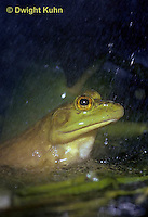 FR06-001z  Bullfrog - adult in pond, falling rain - Lithobates catesbeiana, formerly Rana catesbeiana