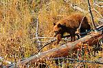 Black Bear, Cinnamon Cub, Elk Creek, Yellowstone National Park, Wyoming