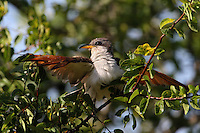 A common, but slow-moving and secretive denizen of woodlands, the Yellow-billed Cuckoo (AKA Rain Crow) eats large quantities of hairy caterpillars. Its loud call is heard far more frequently than the bird is actually seen.