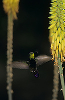 Antillean Mango, Anthracothorax dominicus, male feeding on Agave blossom, Bosque Estatal de Guanica, Puerto Rico, USA