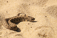 Young Hognose Snake Sunning Itself in Province Lands Dunes, Cape Cod National Seashore