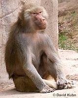 0719-1111  Female Hamadryas Baboon, Papio hamadryas  © David Kuhn/Dwight Kuhn Photography.