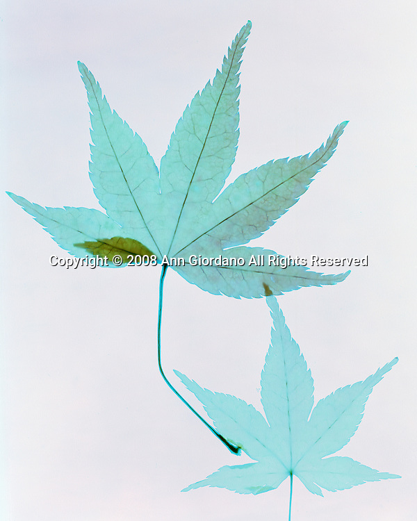 Contact Print of Japanese Maple Leaves