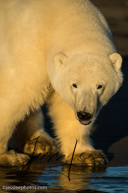 Young Male polar bear of the shore of the Beaufort Sea.