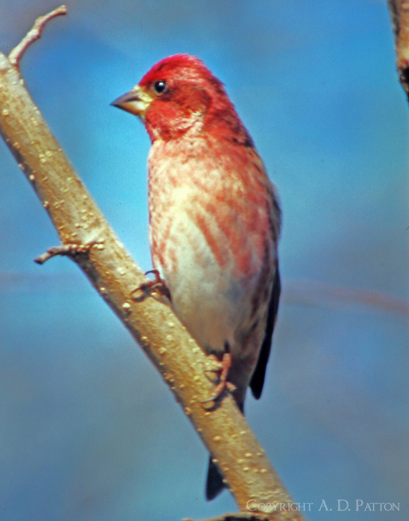 Adult male purple finch