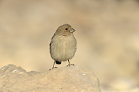 Sinai Rosefinch - Carpodacus synoicus - female