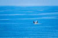 giant oceanic manta ray, Manta birostris, breaching, jumping, leaping, Pacific Ocean