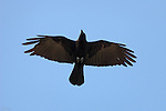 Northern Raven Overflight Close Portrait Southern California