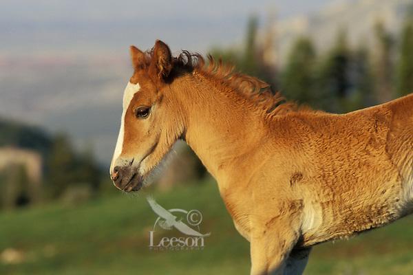 Wild Horse colt.  Western U.S., summer..(Equus caballus)