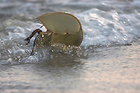 Horseshoe Crab; Limulus polyphemus; being turned over by wave; NJ, Delaware Bay