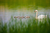 An adult Mute swan (Cygnus olor) with Cygnets feeding on plants, on Marton Mere Nature reserve, Lancashire, UK