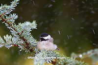 01299-03315 Carolina Chickadee (Poecile carolinensis) bathing in mist, Marion Co., IL