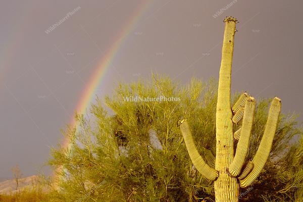Rainbow, Saguaro and Palo Verde in the Sonoran Desert; Arizona