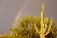 Rainbow, Saguaro and Palo Verde in the Sonoran Desert; Arizona
