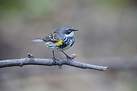 Yellow-rumped Warbler (Setophaga coronata coronata), Myrtle subspecies, female in breeding plumage, a spring migrant to New York City's Central Park.