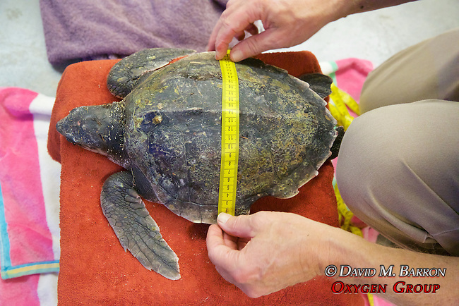 Bob Prescott Measuring Olive Ridley Sea Turtle, Sanctuary Director, Welfleet Bay Wildlife Sanctuary, Audubon