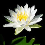 Waterlily Fragrant