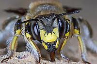 Große Wollbiene, Garten-Wollbiene, Grosse Wollbiene, Gartenwollbiene, Anthidium manicatum, Anthidium maculatum, European wool carder bee, abeille cotonnière, Wollbienen, Megachilidae