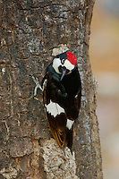 Acorn Woodpecker (Melanerpes formicivorus), male, Madera Canyon, Tucson, Arizona, USA, May 2005
