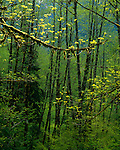 Mount Baker-Snoqualmie National Forest, WA<br /> Early spring greens in a mossy forest of bigleaf maples (Acer macrophyllum) and red alders (Alnus rubra) in the Sauk River Valley on the Mountain Loop Highway
