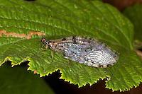 Bachhaft, Bachhafte, Osmylus fulvicephalus, osmylid fly
