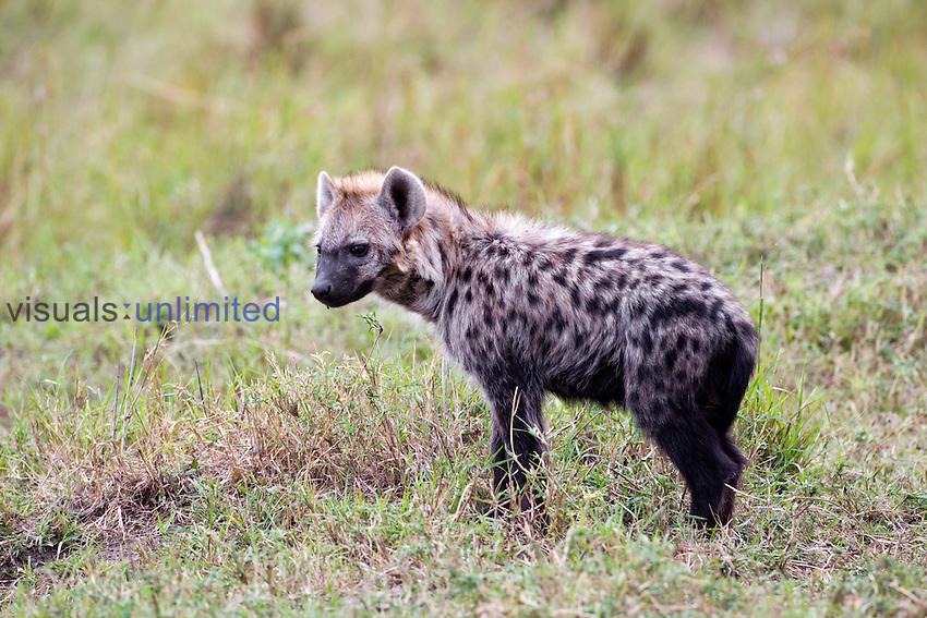 Spotted Hyena, Masai Mara, Kenya