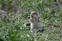Mexican Ground Squirrel eating grass, San Angelo State Park, Texas