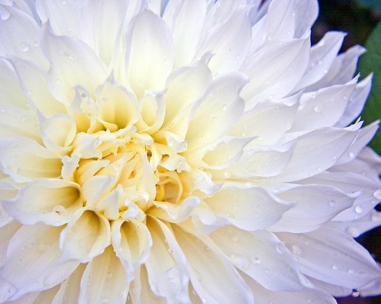 Giant white dahlia