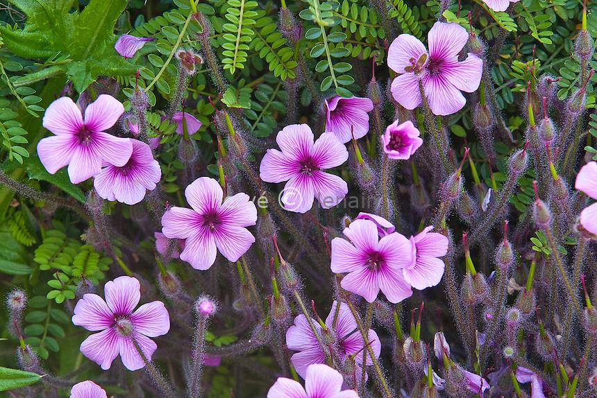 Géranium de Madère au Jardin exotique de Roscoff, (Geranium maderense) // Geranium maderense, Madeira cranesbill or Giant Herb-Robert