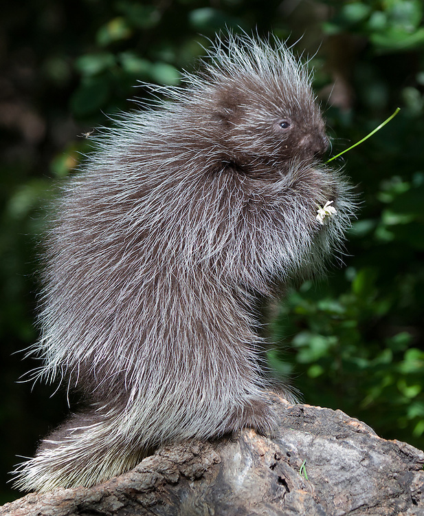 Baby Porcupine eating clover on an old log - CA