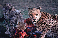 Two cheetahs eating their kill. Masai Mara, Kenya.