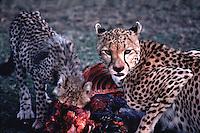 Two cheetahs eating their kill. Masai Mara, Kenya.