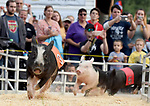 Crowd favorite Rosaire's Racing Pigs, in one of the three races, during the first day of the Hebron Harvest Fair, Thursday, Sept 5, 2019,  at the Hebron Lions Fairgrounds in Hebron. The pig races run several times a day during the fair which runs through Sunday. (Jim Michaud / Journal Inquirer)