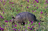 605508002 a wild nine-banded armadillo dasypus novemcinctus forages among winecups callirhoe digitata on a ranch in the rio grande valley of south texas