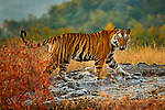 Bengal tiger (Panthera tigris), Bandhavgarh National Park, Madhya Pradesh, India<br />