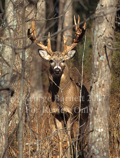 Image Previously Published. Contact George Barnett Photography for Details. Whitetail Hunting Strategies 1999
