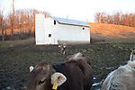 Cows in rural Ohio.