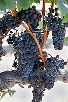 Wine grapes ready for harvest in vineyard near Santa Barbara, California