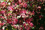 Red loropetalum is a domesticated plant that provides spectacular color year round.