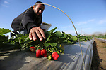 A Palestinian farmer harvests strawberries at a farm in Beit Lahia, in the northern Gaza Strip, on December 1, 2018. Photo by Ashraf Amra