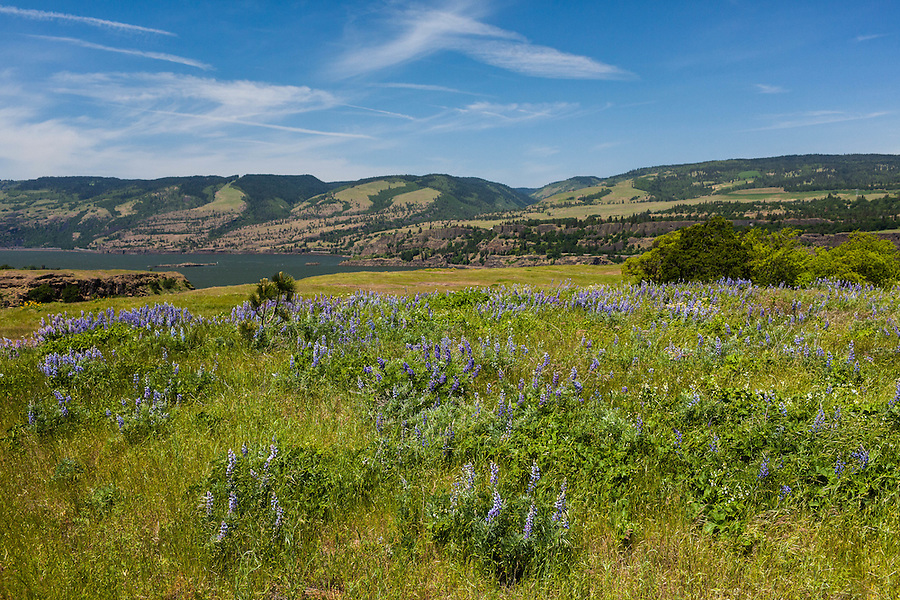 Bluish-purple lupine flowers gather along a grassy meadow along the Columbia River Gorge in Oregon.