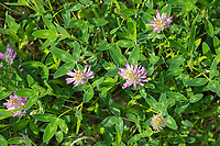 Wiesen-Klee, Wiesenklee, Rot-Klee, Rotklee, Klee, Trifolium pratense, Red Clover, le trèfle violet, le trèfle des prés