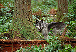 Grey wolf in the forests of British Columbia, Canada
