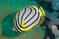 Meyer's Butterflyfish, Chaetodon meyeri, Chicken Farm dive site, Christmas Island, Australia, Indian Ocean