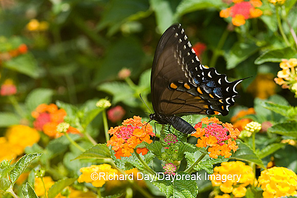 03023-023.11 Eastern Tiger Swallowtail (Papilio glaucus) female on Red Spread Lantana (Lantana camara) Marion Co.  IL