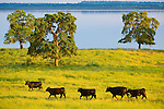 Black cattle graze in rich, waste-deep grass near Camanche Reservoir in spring in Amador County, Calif.