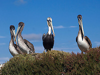 BROWN PELICANS (Pelecanus Occidentalis) an endangered species  roosting on ELKHORN SLOUGH - MOSS LANDING, CALIFORNIA
